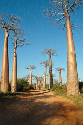 L'Essentiel - Baobabs